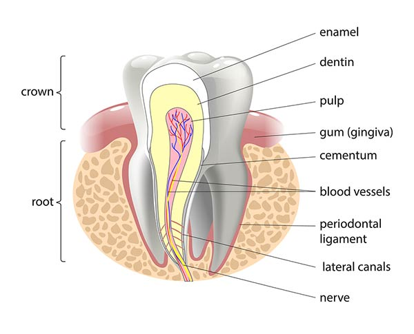 tooth canal illustration